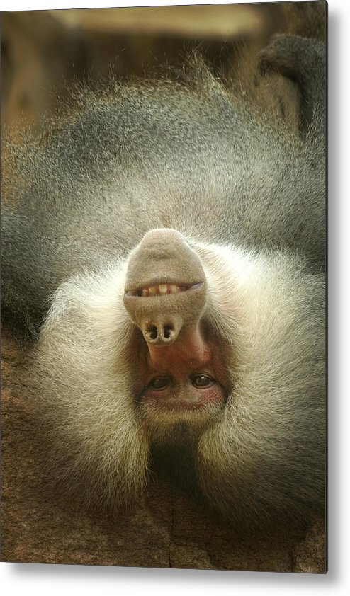 Baboon Metal Print featuring the photograph Reclining Baboon by Richard Henne