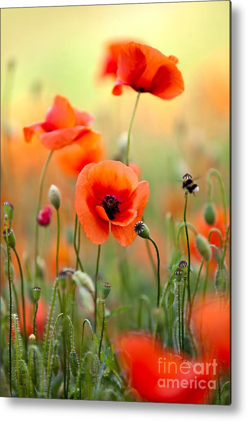 Poppy Metal Print featuring the photograph Red Corn Poppy Flowers 06 by Nailia Schwarz