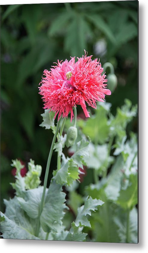 Salmon Metal Print featuring the photograph Salmon Poppy by Michael Bessler