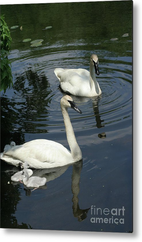 Trumpeter Swans Metal Print featuring the photograph Trumpeter Swans by Judy Whitton
