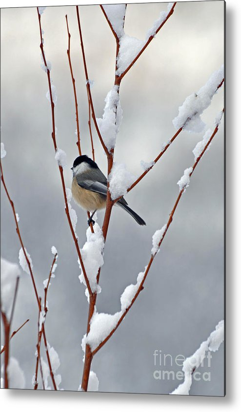 Berry Metal Print featuring the photograph Winter Chickadee by Diane E Berry