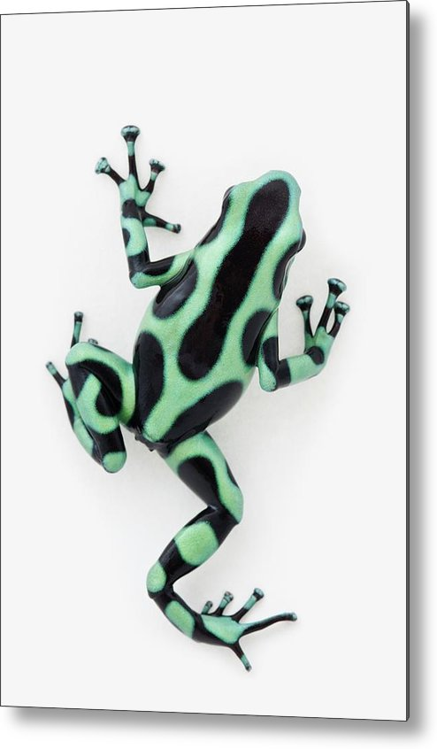 White Background Metal Print featuring the photograph Black And Green Poison Dart Frog by Design Pics / Corey Hochachka