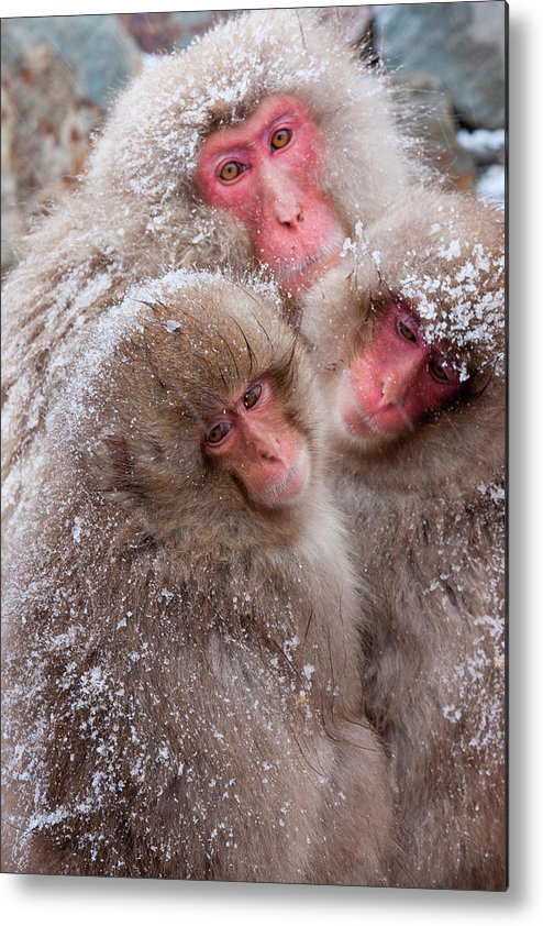 Vertebrate Metal Print featuring the photograph Japanese Macaques, Japanese Alps by Mint Images/ Art Wolfe