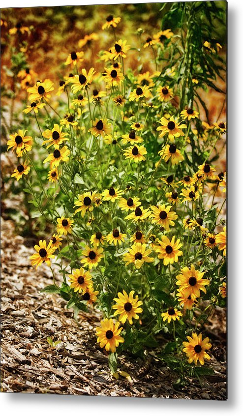 Rockville Metal Print featuring the photograph A Group Of Bossoming Black-eyed Susans by Maria Mosolova