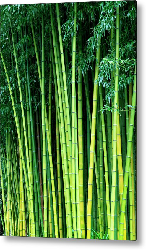 Tropical Rainforest Metal Print featuring the photograph Bamboo Trees by Enjoynz