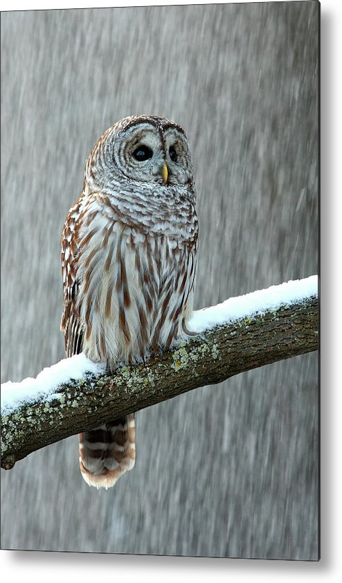 Alertness Metal Print featuring the photograph Barred Owl In The Snow by Alex Thomson Photography