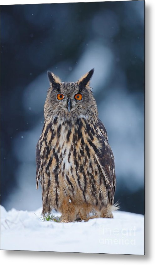 Big Metal Print featuring the photograph Big Eurasian Eagle Owl With Snowflakes by Ondrej Prosicky
