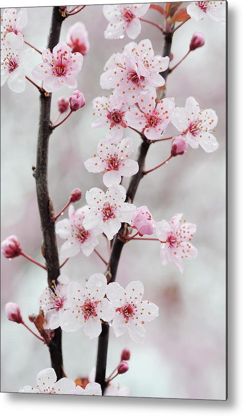 Cherry Metal Print featuring the photograph Cherry Plum Purple Plum Pink Flowers On by Martin Ruegner