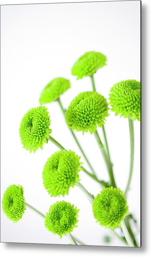 White Background Metal Print featuring the photograph Chrysanthemum Flowers by Nicholas Rigg