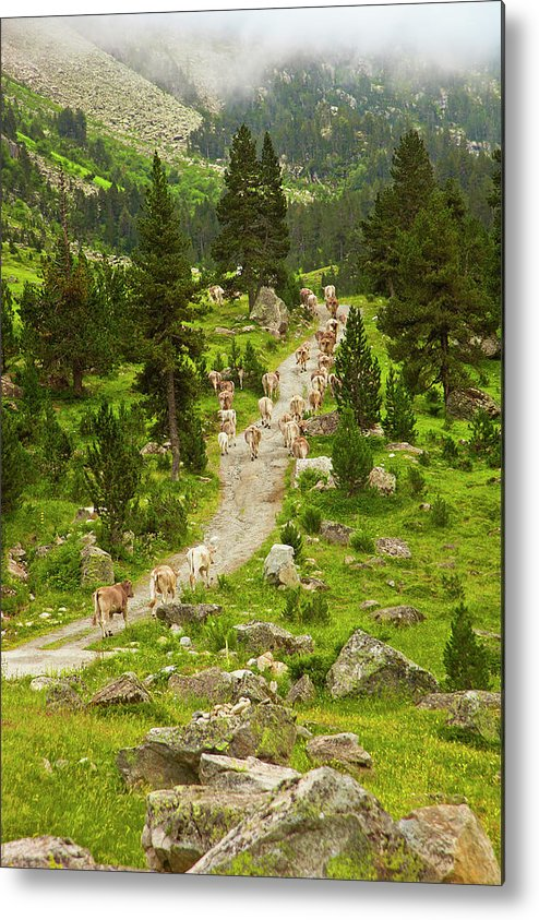 Catalonia Metal Print featuring the photograph Cows Walking In Catalan Pyrenees by Gonzalo Azumendi