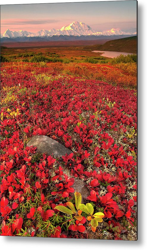 Scenics Metal Print featuring the photograph Denali National Park Fall Colors by Kevin Mcneal