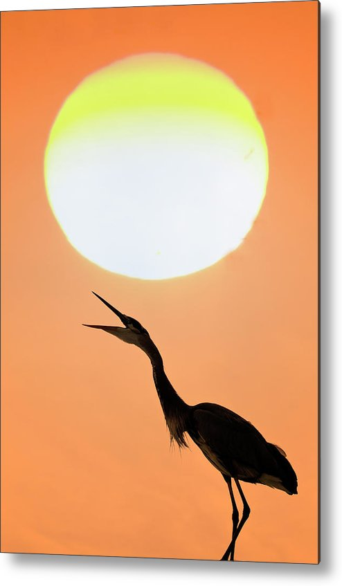 Animal Themes Metal Print featuring the photograph Great Blue Heron, Screeching, Sunset by Mark Newman