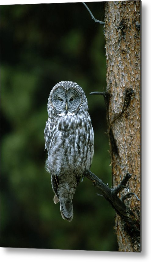 Great Gray Owl Metal Print featuring the photograph Great Gray Owl Strix Nebulosa On Perch by Riccardo Savi