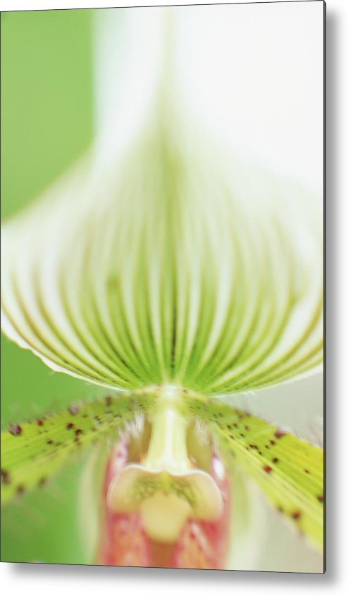 Single Flower Metal Print featuring the photograph Ladys Slipper Paphiopedilum Sukhakulii by Vera Storman
