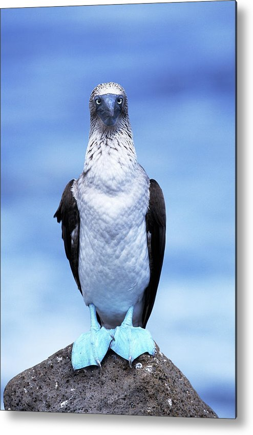 Animal Themes Metal Print featuring the photograph Masked Booby Sula Dactylatra Galapagos by Art Wolfe