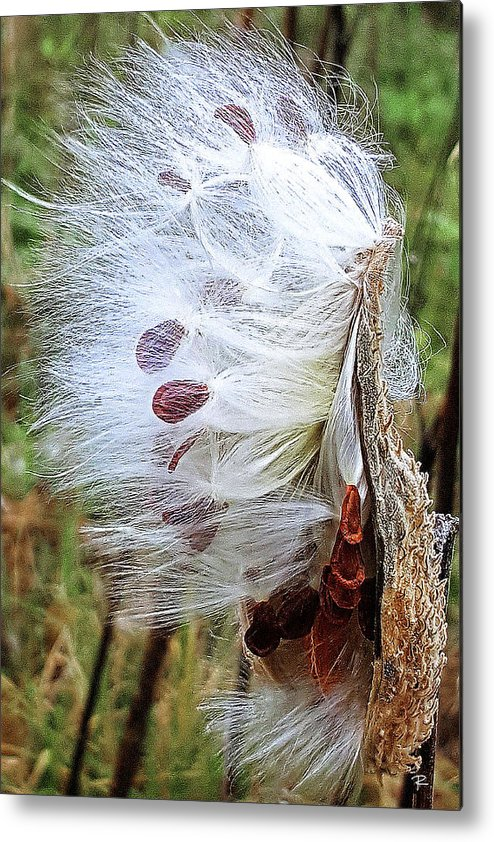 Nature Metal Print featuring the photograph Milkweed by Tom Romeo