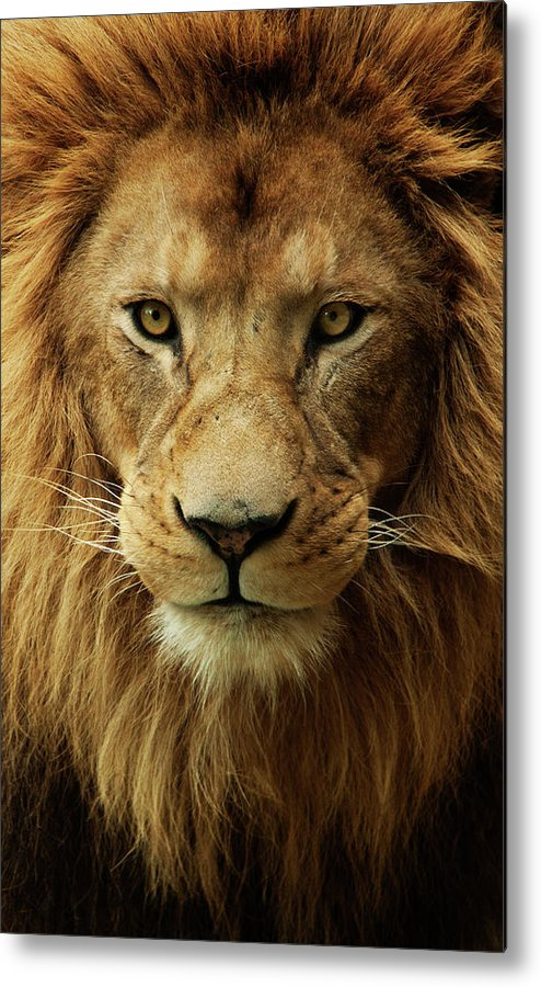 Animal Themes Metal Print featuring the photograph Portrait Male African Lion by Brit Finucci