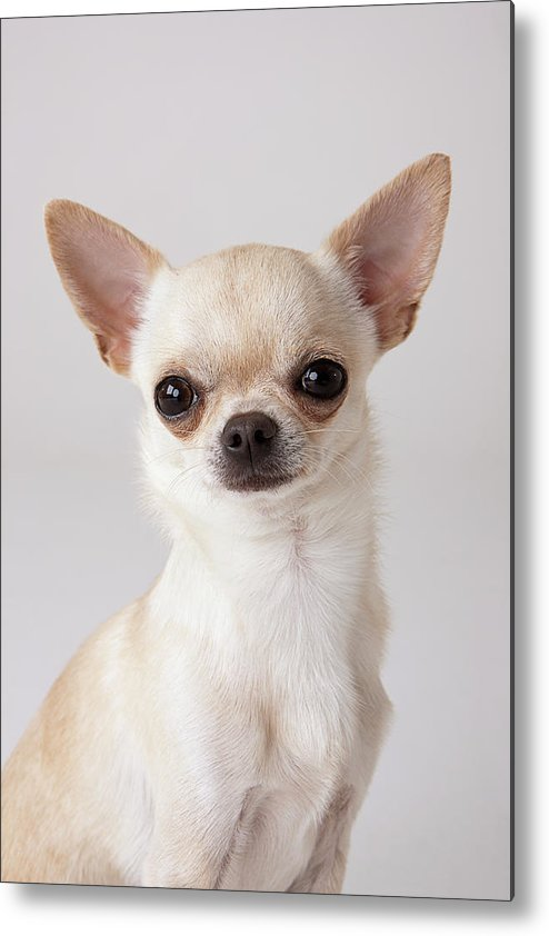Pets Metal Print featuring the photograph Portrait Of Chihuahua by Compassionate Eye Foundation/david Leahy