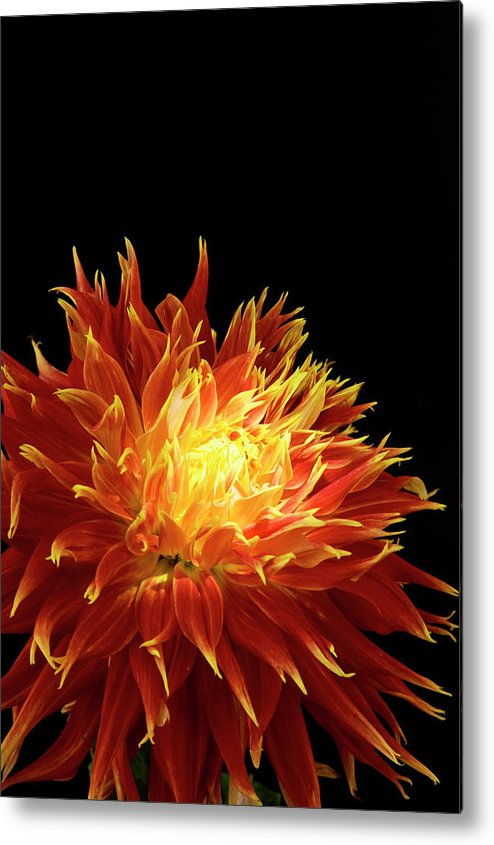Firework Display Metal Print featuring the photograph Red-yellow Dahlia Flower by Eyepix