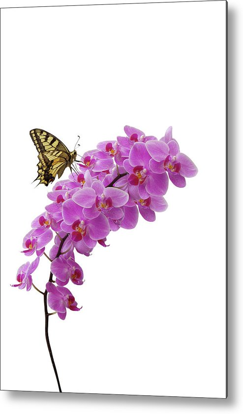 White Background Metal Print featuring the photograph Swallowtail Butterly On Orchid by Photographerolympus