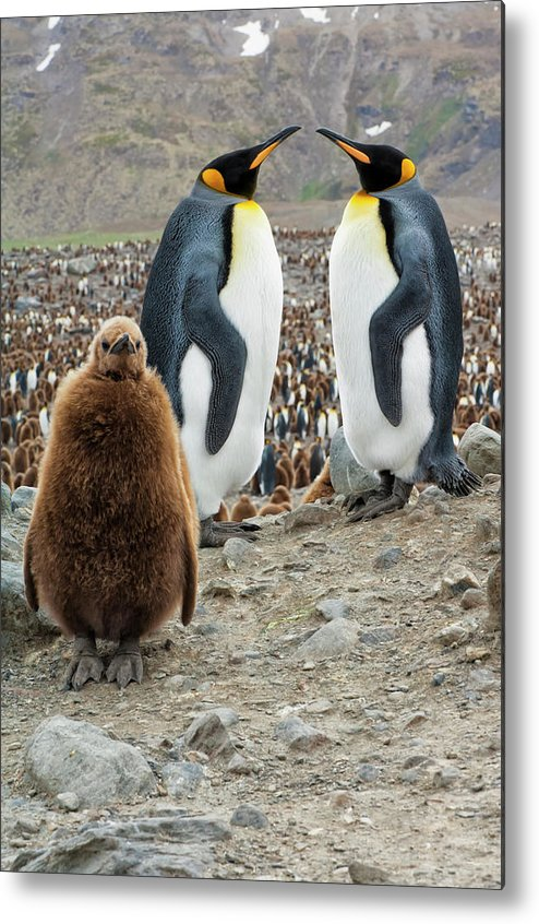 Animals In The Wild Metal Print featuring the photograph Two King Penguins And A Chick by Gabrielle Therin-weise