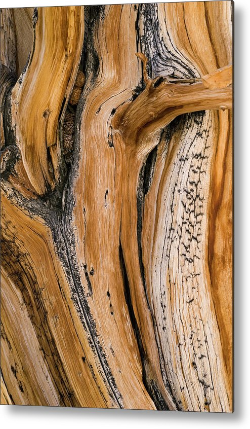 Weathered Metal Print featuring the photograph Weathered Wood Of Ancient Bristlecone by Kevin Schafer