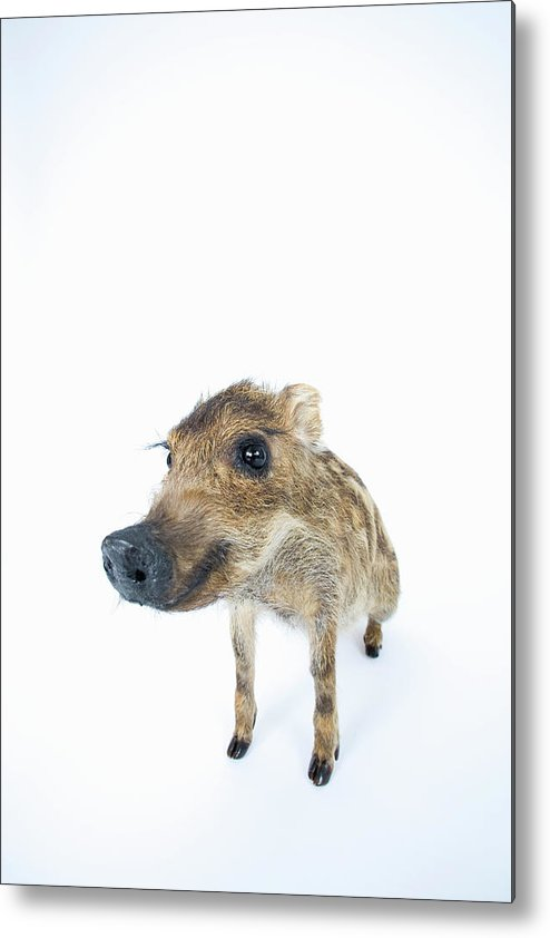 Animal Nose Metal Print featuring the photograph Young Wild Boar Sus Scrofa by Yasuhide Fumoto