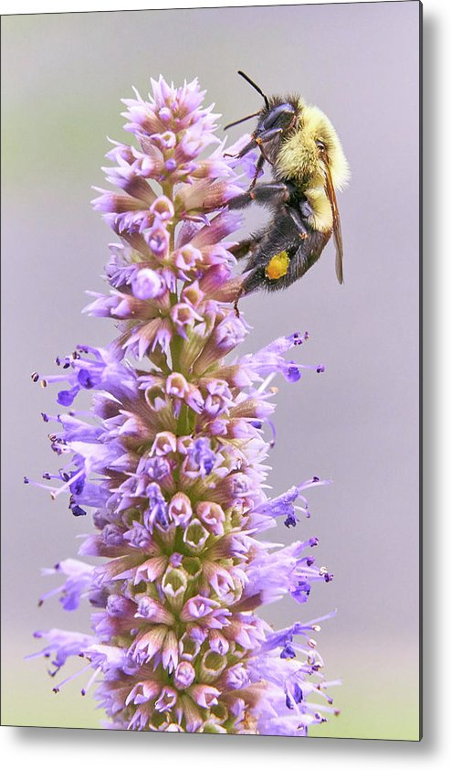 Bumblebee Metal Print featuring the photograph Bumblebee on Blue Giant Hyssop by Jim Hughes