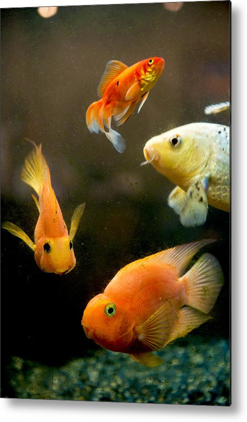 Pets Metal Print featuring the photograph Redfish and Aquarium by Feifei Cui-Paoluzzo