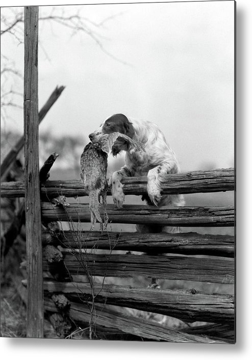 Photography Metal Print featuring the photograph 1920s English Setter Dog Climbing by Animal Images