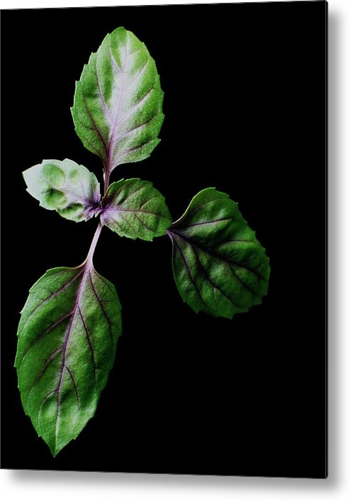 Herbs Metal Print featuring the photograph A Sprig Of Basil by Romulo Yanes