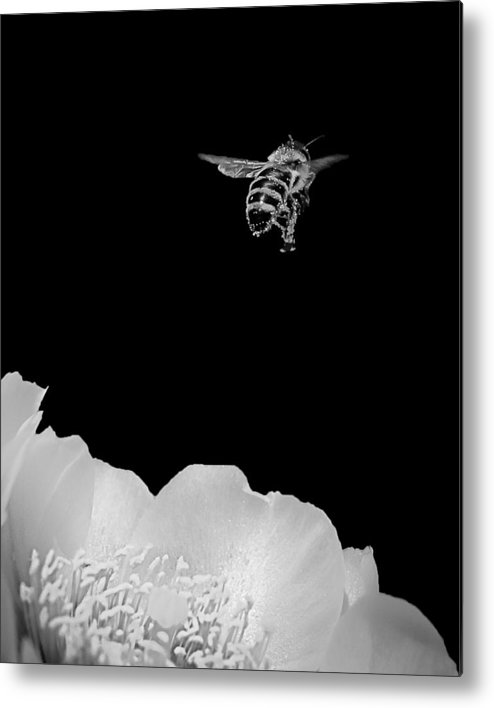 Bee Metal Print featuring the photograph bee rising #2 B/W by Len Romanick