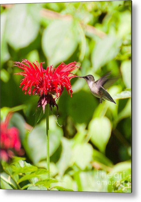 Nature Metal Print featuring the photograph Hummingbird by Wayne Valler