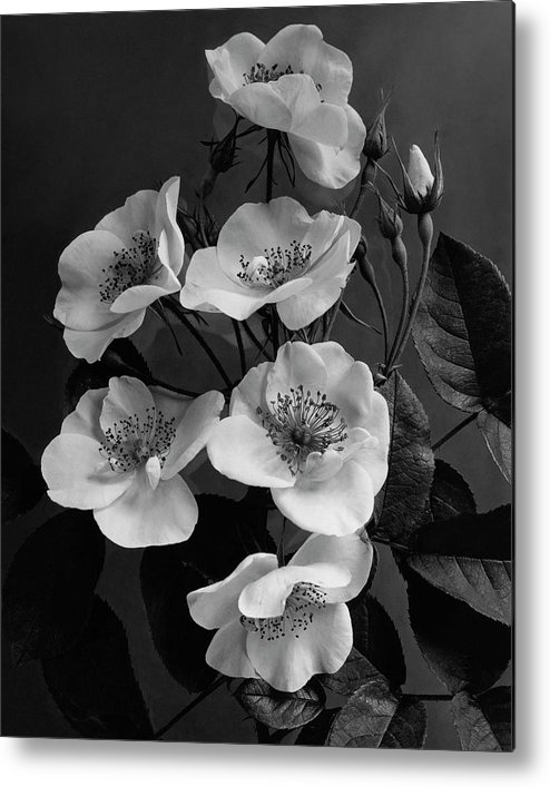 Flowers Metal Print featuring the photograph Moschata Alba by J. Horace McFarland
