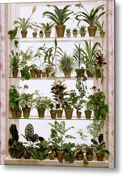 Plants Metal Print featuring the photograph Potted Plants On Shelves by Wiliam Grigsby