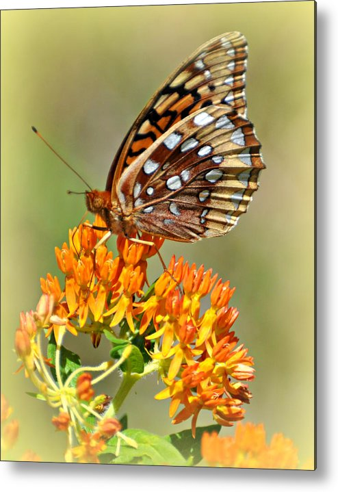 Butterfly Metal Print featuring the photograph Butterfly Weed 1 by Marty Koch