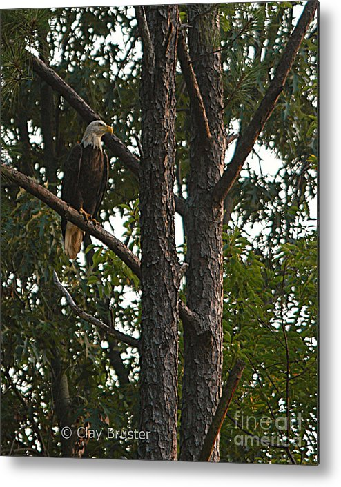 All Rights Reserved Metal Print featuring the photograph Majestic Bald Eagle by Clayton Bruster