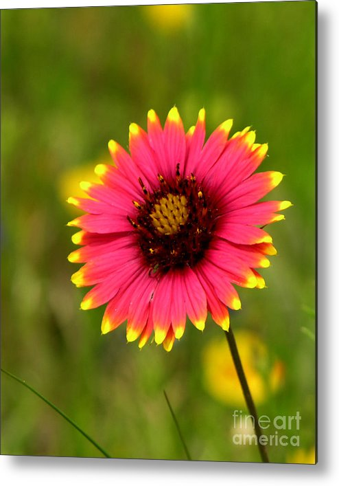 Floral Metal Print featuring the photograph Indian Blanket by Paul Anderson