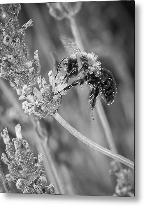Bumblebee Metal Print featuring the photograph Bee Works Lavender by Len Romanick