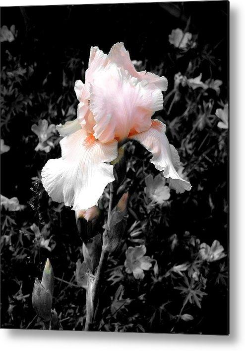 Flower Metal Print featuring the photograph Iris Emergance by Steve Karol
