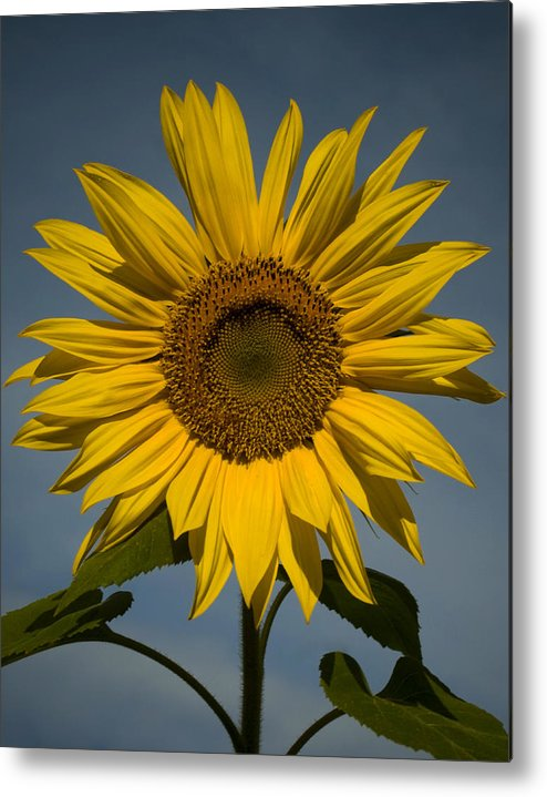 Sunflower Metal Print featuring the photograph On the rise by Mark Wiley