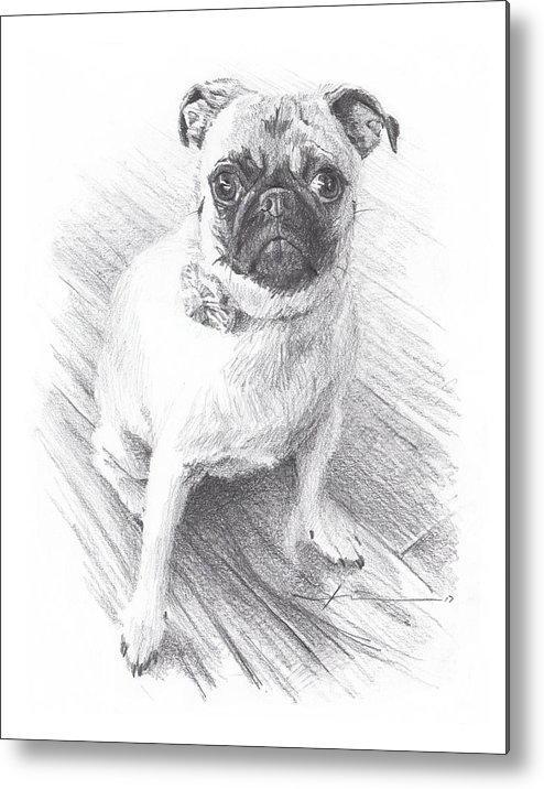 Www.miketheuer.com Posing Pug Pencil Portrait Metal Print featuring the drawing Posing Pug by Mike Theuer