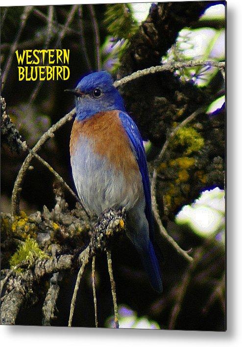 Birds Metal Print featuring the photograph Western Bluebird by Ben Upham III