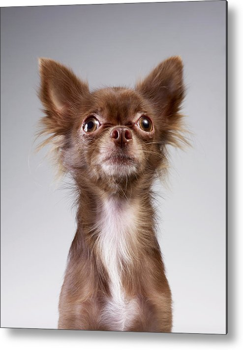 Pets Metal Print featuring the photograph Chihuahua Looking Up by Stilllifephotographer
