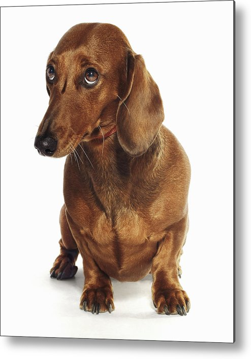 Pets Metal Print featuring the photograph Dachshund Looking Up by Gandee Vasan