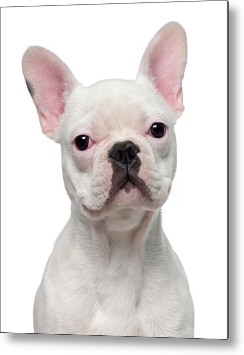 Pets Metal Print featuring the photograph French Bulldog Puppy 5 Months Old by Life On White