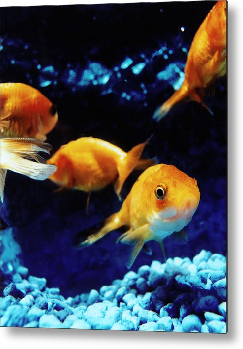 Pets Metal Print featuring the photograph Goldfish In Fish Tank by Silvia Otte