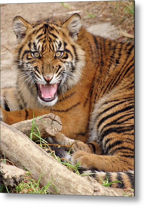 Snarling Metal Print featuring the photograph Growling Tiger by S. Greg Panosian