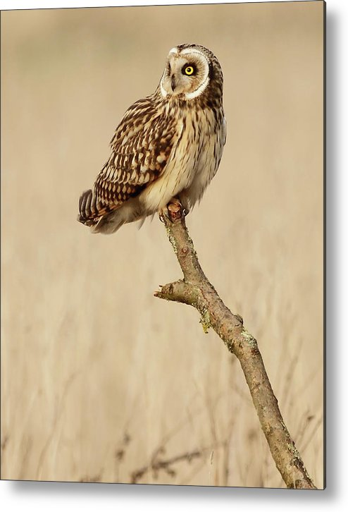 Animal Themes Metal Print featuring the photograph Short Eared Owl Perched On A Branch by Steve Ward Nature Photography