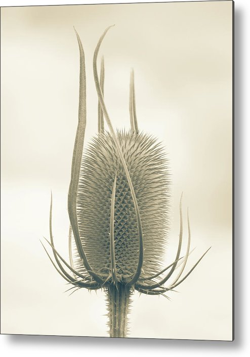 Teasel Metal Print featuring the photograph Unexpected Direction by Bear R Humphreys
